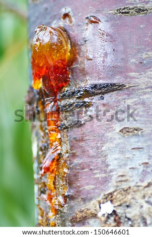 Solid amber resin drops on a cherry tree trunk. Macro shot. - stock photo