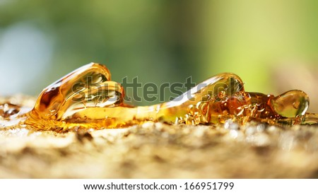 Solid amber resin drops on a  tree trunk.