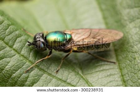 Solider fly, Chloromyia formosa on leaf - stock photo