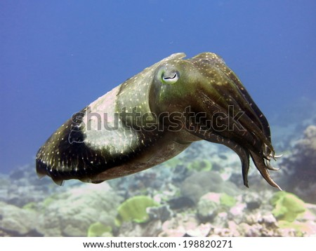 Solitair Pharao cuttlefish, the perfect camouflage with changing colors. Micronesia, Yap, Pacific ocean - stock photo