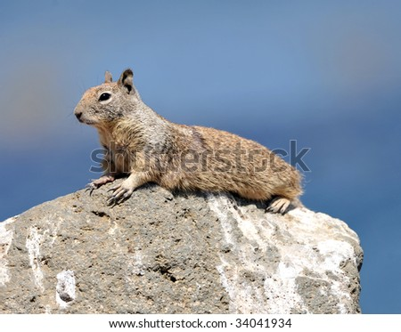 solitary californian ground squirrel keeping watch