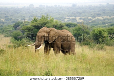 Solitary elephant in a field of long grass in the PIlanesberg Game Reserve in South Africa - stock photo