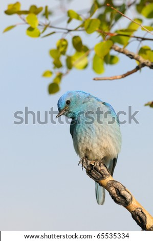 Solitary Female Mountain Bluebird Perched