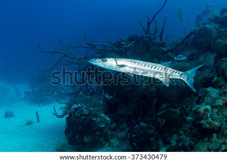 Solitary Great Barracuda patrolling a coral reef - stock photo