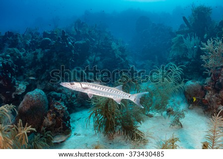 Solitary Great Barracuda patrolling a coral reef