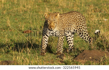 Solitary Leopard walking on the African plains - stock photo