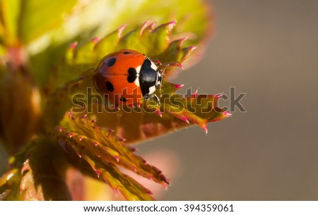 Solitary macro seven spotted ladybug (Coccinella septempunctata) on early spring new rose leaves - stock photo