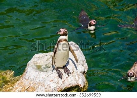 Solitary Magellanic Penguin (Spheniscus Magellanicus) On A Rock Surrounded By Water And Penguins Swimming Around Him - stock photo
