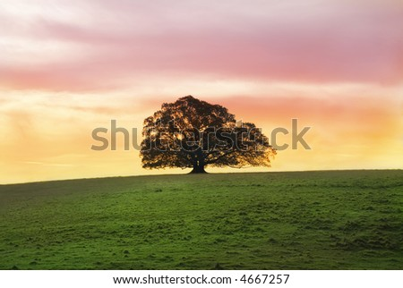 Solitary Moreton Bay Fig Tree at sunset alone in a large field
