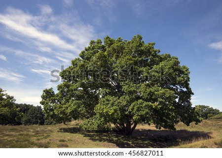 Solitary Oak tree in a Danish  landscape called Russia in Dronningmoelle. - stock photo