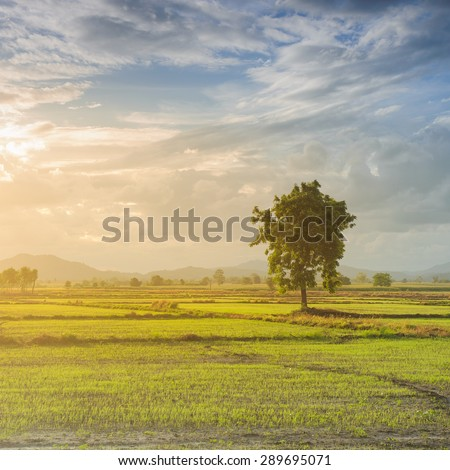 solitary oak tree in the sunset - stock photo