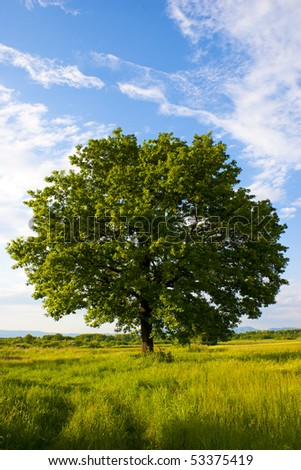 Solitary oak tree, warm late afternoon colors. - stock photo