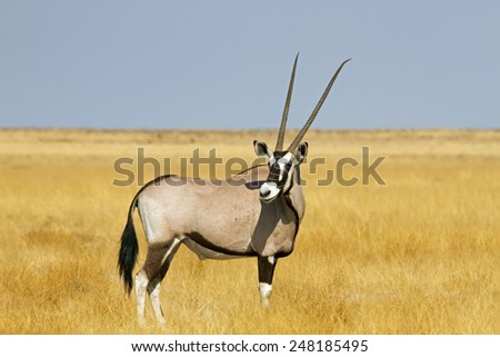 Solitary Oryx in a vast grassland setting - stock photo