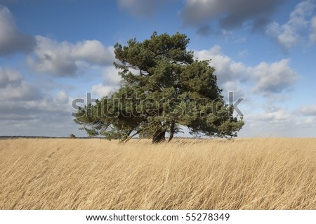 Solitary Pine Tree in a Field - stock photo