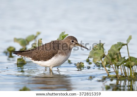 Solitary Sandpiper (Tringa solitaria) wading in water amongst water plants, against a blurred natural background - stock photo