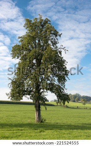 solitary tree in grass in belgium landscape - stock photo