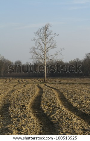 solitary tree standing in agricultural land with tractor tracks