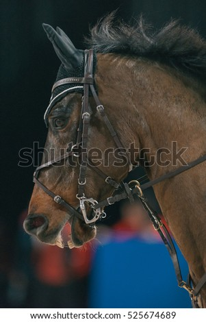 SOLNA, SWEDEN - NOV 24, 2016: Closeup of a horse head at the Ride and drive competition in the Sweden International Horse Show at Friends arena.