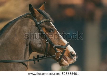 SOLNA, SWEDEN - NOV 24, 2016: Closeup of horse head at Sweden International Horse Show at Friends arena.