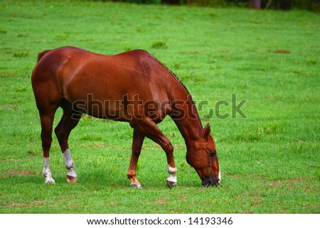 Solo Horse eating grass - stock photo