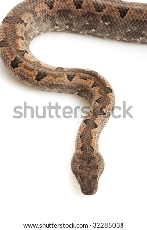 Solomon Island Ground Boa (Candoia carinata paulsoni) isolated on white background. - stock photo