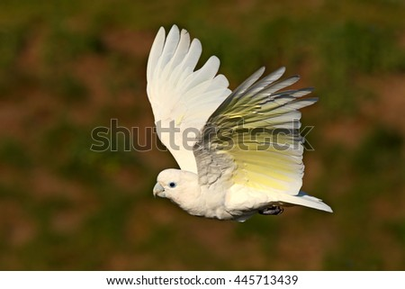 Solomons cockatoo, Cacatua ducorpsii, flying white exotic parrot, bird in the nature habitat, action scene from wild, Australia. Bird in fly. White animal from forest. - stock photo