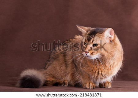 Somali cat - stock photo