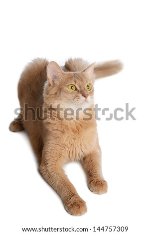 Somali cat  fawn color isolated on white background - stock photo