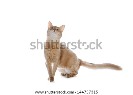 Fawn Colored Cat Somali cat fawn color isolated