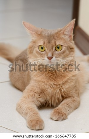 Somali cat indoors - stock photo