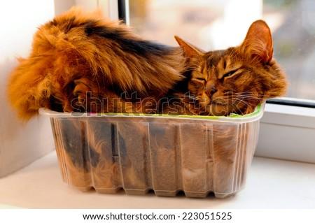 Somali cat lie inside transparent plastic box - stock photo