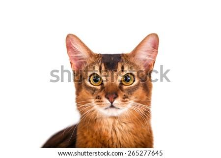 Somali cat on a white background. Close-up. - stock photo