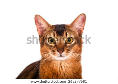 Somali cat on a white background. Close-up.
