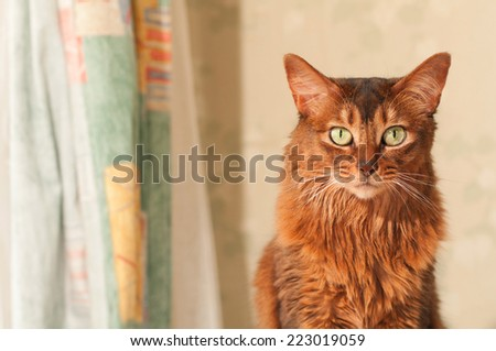 Somali cat portrait at home near curtains looking at camera with copy space