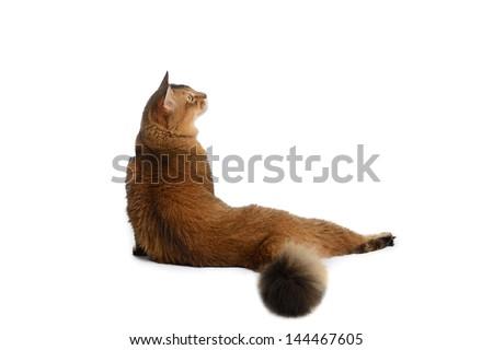 Somali cat  ruddy color isolated on white background - stock photo