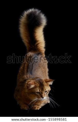 Somali cat  ruddy color on black background - stock photo