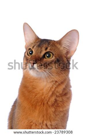 Somali cat ruddy color portrait isolated on white - stock photo