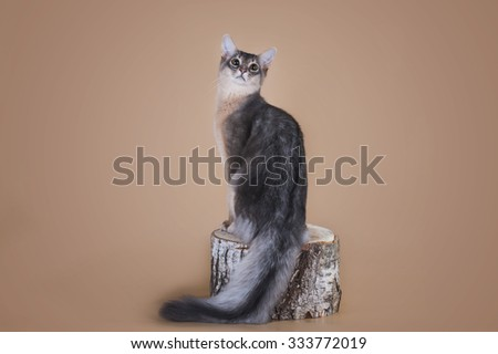Somali cat sitting on a tree stump in the studio - stock photo