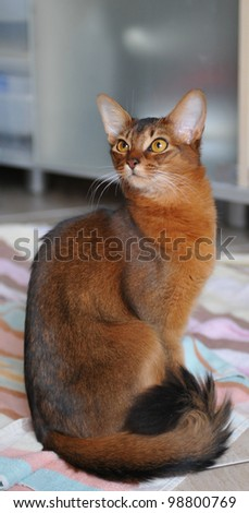 Somali cat sitting on the towel and looking aside - stock photo