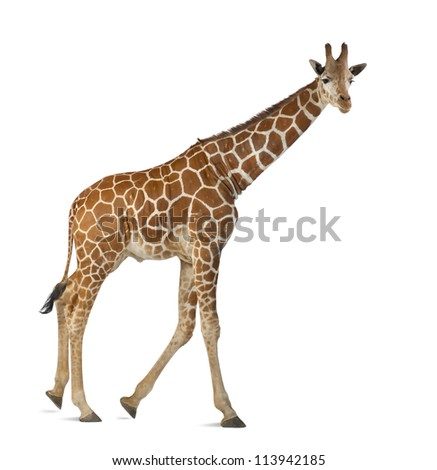 Somali Giraffe, commonly known as Reticulated Giraffe, Giraffa camelopardalis reticulata, 2 and a half years old walking against white background - stock photo