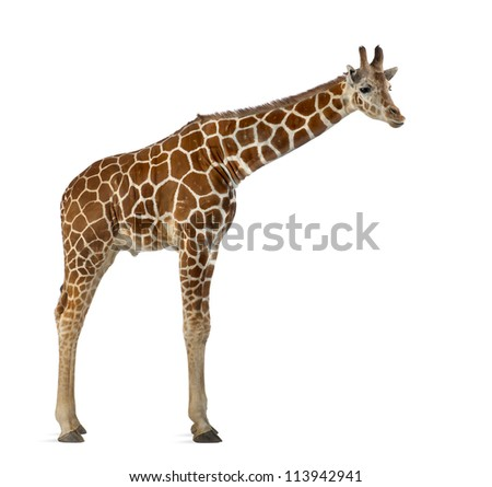 Somali Giraffe, commonly known as Reticulated Giraffe, Giraffa camelopardalis reticulata, 2 and a half years old standing against white background - stock photo