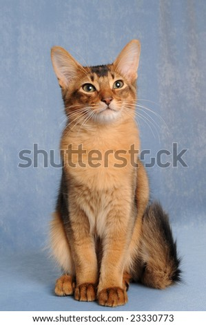 Somali kitten sits on light blue background - stock photo