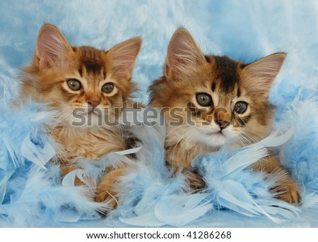 somali kittens relax in blue feathers - stock photo