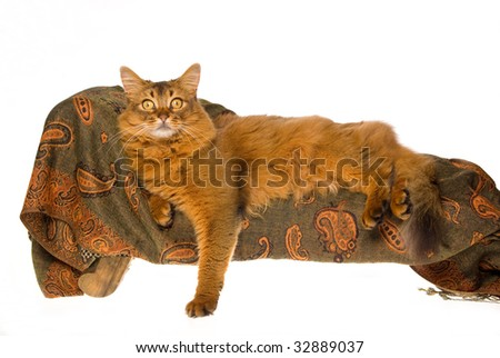 Somali lying on miniature couch, on white background - stock photo