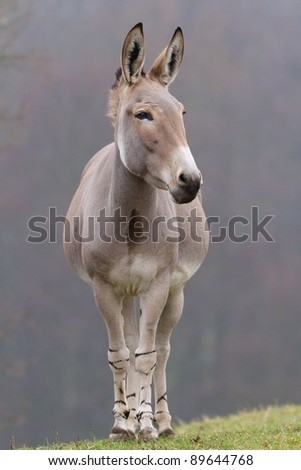 Somali Wild Ass a Critically Endangered species. - stock photo