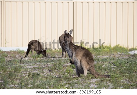 Some Australian  brown kangaroos macropus rufus grazing on a cloudy morning  in a paddock of green grass   after winter rains.   - stock photo