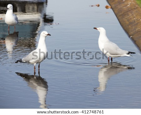 Some beautiful seagulls  seabirds of the family Laridae in the sub-order Lari  reflected in the  puddle are  enjoying a cool sip of water  in the parking area of the park on a sunny summer afternoon. - stock photo