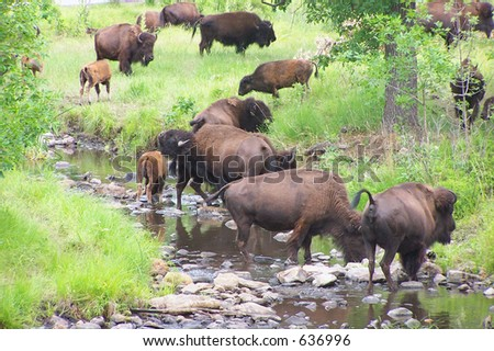Some buffalo(bison) by a stream in the Black Hills of South Dakota
