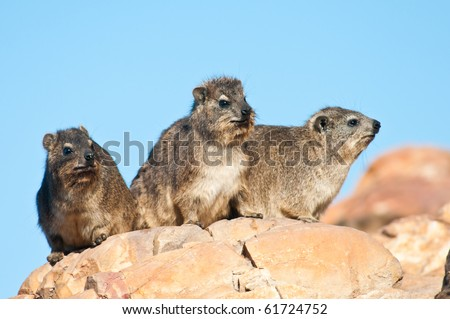 Some Cape Hyrax basking in the sun, also known as dassie in Southern Africa. - stock photo