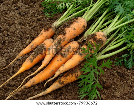 some carrots with tops on the ground - stock photo